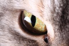 Grey yellow eye from british cat. As nice background Royalty Free Stock Image