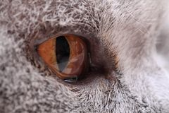 Grey yellow eye from british cat. As nice background Stock Photos