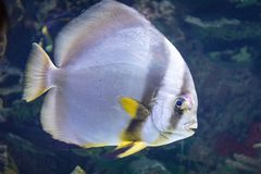 A grey and yellow fish. In an aquarium Stock Photo