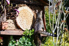 Grey young cat looking on insect hotel for wild bees Royalty Free Stock Photo