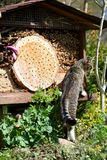 Grey young cat looking on insect hotel for wild bees Royalty Free Stock Photography
