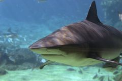 GreyCoat. Shark swimming over reef Stock Image