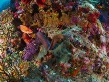 Greyface海鳗和珊瑚石斑鱼 免版税图库摄影