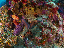 Greyface Moray και Grouper κοραλλιών Στοκ φωτογραφία με δικαίωμα ελεύθερης χρήσης