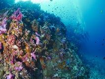 Greyface Moray und Coral Grouper Stockbild