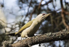 Greyheaded Woodpecker. Hanging out in a pine branch Stock Photography