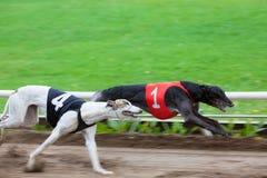Greyhound αγώνας σκυλιών Στοκ εικόνες με δικαίωμα ελεύθερης χρήσης