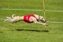 Greyhound αγώνας Στοκ Εικόνες
