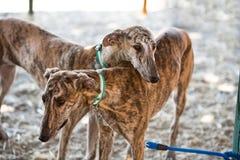 Greyhound είναι μια φυλή του ντόπιου σκυλιών της Ισπανίας Στοκ Εικόνες