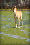 greyhound ενδιαφερόμενο Στοκ Φωτογραφία