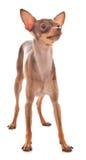 greyhound ιταλικά παιχνιδιού Στοκ Εικόνες