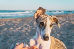 Greyhound κουτάβι στοκ εικόνες με δικαίωμα ελεύθερης χρήσης