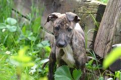Greyhound κουτάβι Στοκ Φωτογραφίες