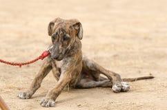 Greyhound κουταβιών Στοκ Φωτογραφίες