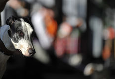 greyhound λεπτομέρειας Στοκ Εικόνα