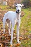 greyhound λευκό Στοκ φωτογραφία με δικαίωμα ελεύθερης χρήσης