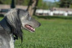 Greyhound μετά από μια μακροπρόθεσμη στήριξη στη χλόη E o r στοκ εικόνες