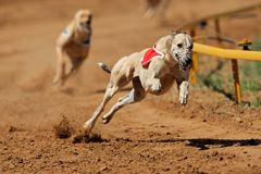 greyhound να τρέξει γρήγορα Στοκ εικόνα με δικαίωμα ελεύθερης χρήσης