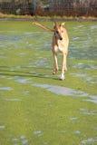 greyhound περπάτημα Στοκ Εικόνες