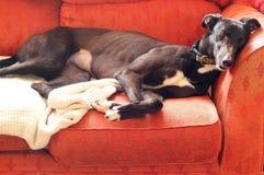Greyhound που βρίσκεται και που στηρίζεται σε μια καρέκλα Στοκ Φωτογραφία