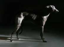 Greyhound σκιά σκυλιών Στοκ Εικόνα