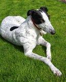 Greyhound σκυλί Στοκ εικόνα με δικαίωμα ελεύθερης χρήσης