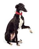 greyhound σκυλιών Στοκ Εικόνες
