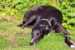 Greyhound σκυλί που βρίσκεται έξω στην προσοχή χλόης Στοκ εικόνες με δικαίωμα ελεύθερης χρήσης