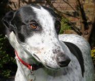 Greyhound σκυλί Στοκ Εικόνες