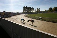 Greyhound σκυλιά Στοκ φωτογραφίες με δικαίωμα ελεύθερης χρήσης