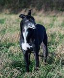 Greyhound της Bella Στοκ Εικόνες