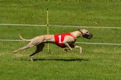 Greyhound φυλή Στοκ Φωτογραφία