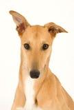 greyhound όμορφο Στοκ Εικόνα
