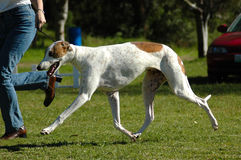 Greyhound. Full body of an active Greyhound dog with beautiful face in brown and white running fast and watching other dogs Stock Photo