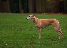 Greyhound stock photo