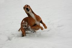 Greyhound. The red greyhound playing in snow stock image