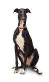 greyhound Στοκ Εικόνες