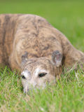 Greyhound Royalty Free Stock Image