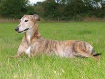 greyhound Στοκ φωτογραφία με δικαίωμα ελεύθερης χρήσης