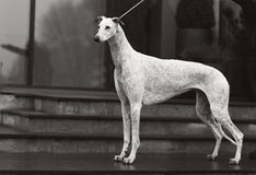 Greyhound Royalty Free Stock Photo