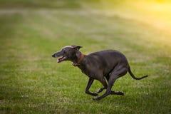 greyhound Στοκ Φωτογραφίες