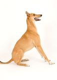 Greyhound. A tan greyhound sitting against a white background royalty free stock images