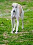 Greyhound Stock Images
