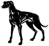 Greyhound Royalty Free Stock Image