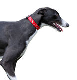 Greyhound stock image