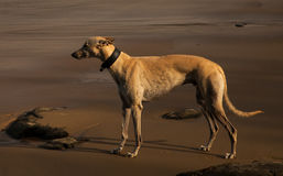 Greyhound on the Beach Stock Photography