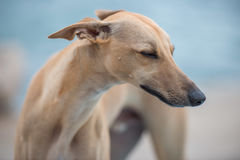 Greyhound on a beach. Greyhound  on a beach with eyes closed and blured background Royalty Free Stock Images