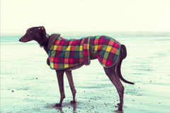 Greyhound on the beach, Scotland. Stock Photography