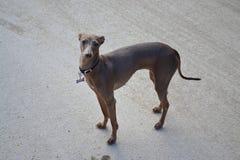 Greyhound Stock Photos