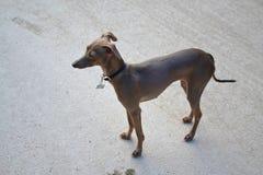 Greyhound Stock Images